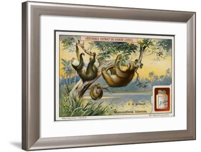 Ai, a Species of Sloth--Framed Giclee Print