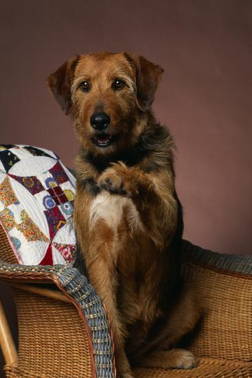 Airedale Mix Offering a Paw-DLILLC-Photographic Print