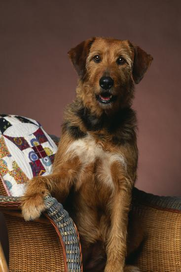 Airedale Mix Sitting on the Furniture-DLILLC-Photographic Print