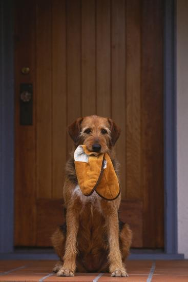 Airedale Mix with Slippers in Mouth-DLILLC-Photographic Print