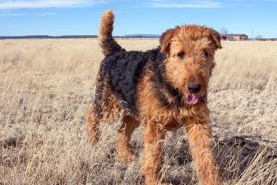 Airedale Terrier in a Field of Dried Grasses-Zandria Muench Beraldo-Photographic Print