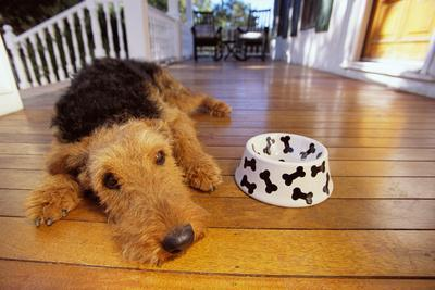 https://imgc.artprintimages.com/img/print/airedale-terrier-lying-by-food-dish_u-l-pzrvah0.jpg?p=0