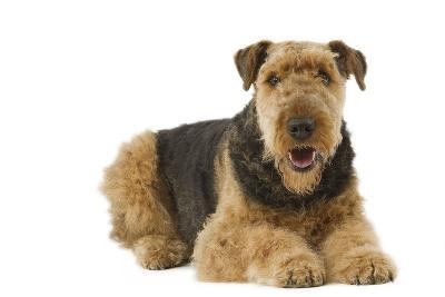 Airedale Terrier--Photographic Print