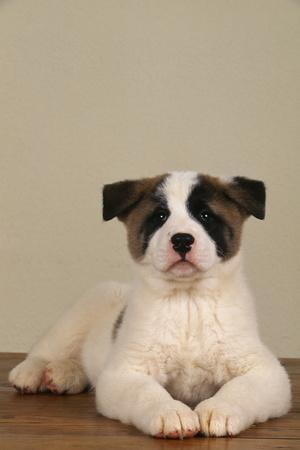 https://imgc.artprintimages.com/img/print/akita-puppy-sitting-on-floor_u-l-pzr3ab0.jpg?p=0