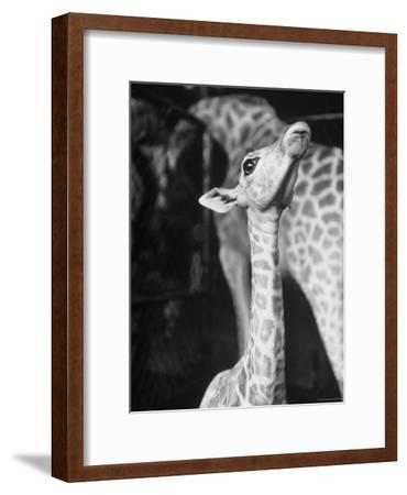 Baby Giraffe Taking a Look Around