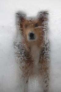 A Mixed Breed Dog Peers Through a Glass Door Covered in Ice Created by Moisture Inside the House by Al Petteway