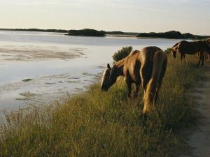 Chincoteague Ponies Graze on Marsh Grass by Al Petteway