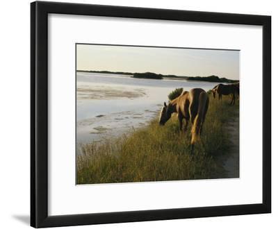 Chincoteague Ponies Graze on Marsh Grass