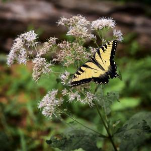 Portrait of an Eastern Tiger Swallowtail Butterfly on a Wildflower by Al White Amy