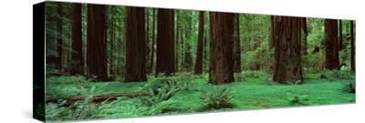Redwoods, Rolph Grove