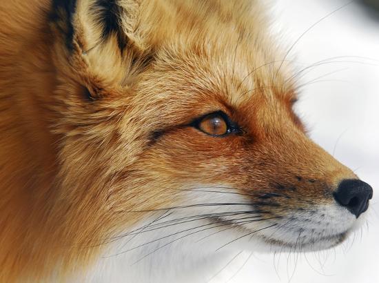 alain-turgeon-red-fox