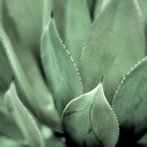 Agave #4 by Alan Blaustein