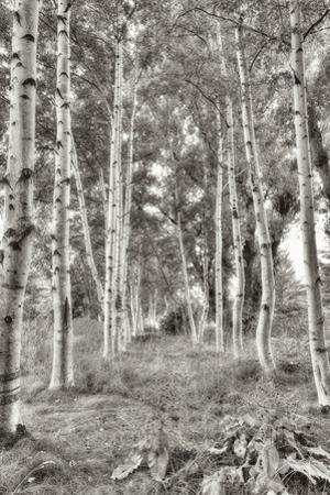 Birch Trees No.3 by Alan Blaustein