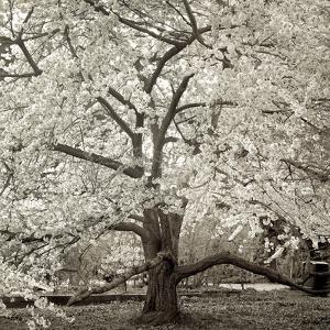 Hamption Magnolia II by Alan Blaustein