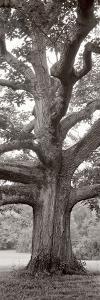 Hampton Field Tree II by Alan Blaustein
