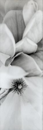 Magnolia #2 by Alan Blaustein