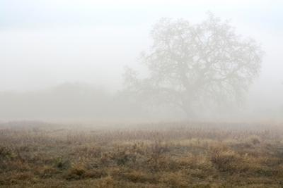 Oak Tree #28
