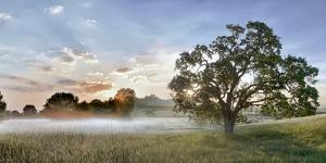 Sonoma Oak #3 by Alan Blaustein