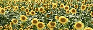 Tuscan Sunflower Pano #1 by Alan Blaustein