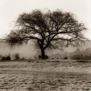 Willow Tree by Alan Blaustein