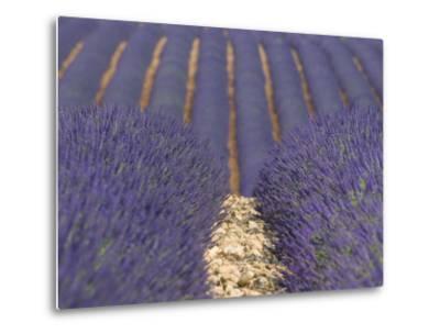 Alpes-De-Haute-Provence, Valensole, Lavendar Fields, Provence-Alpes-Cote D'Azur, France