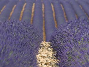 Alpes-De-Haute-Provence, Valensole, Lavendar Fields, Provence-Alpes-Cote D'Azur, France by Alan Copson