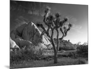 California, Joshua Tree National Park, USA by Alan Copson