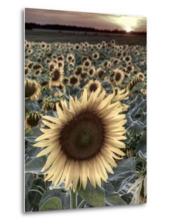 Sunflowers, Norfolk, England, Uk