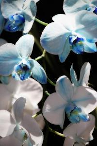 Blue Moth Orchids I by Alan Hausenflock