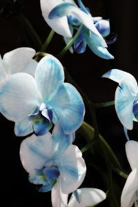 Blue Moth Orchids II by Alan Hausenflock