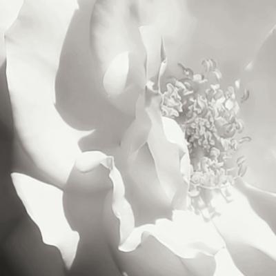 BW Rose Sq I by Alan Hausenflock