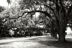 Charleston Oaks 9 by Alan Hausenflock