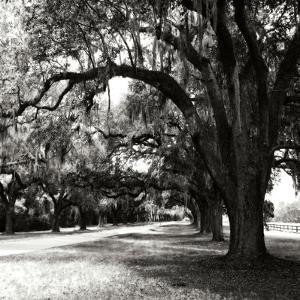 Charleston Oaks Sq IX by Alan Hausenflock