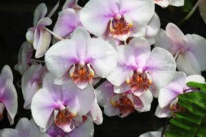 Moth Orchids I by Alan Hausenflock