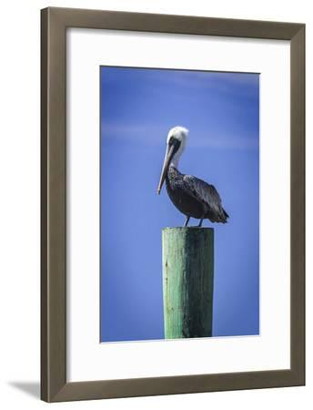 Mr. Pelican III