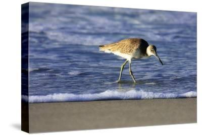 Sandpiper in the Surf IV