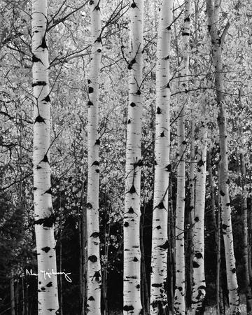 Aspens in Autumn II