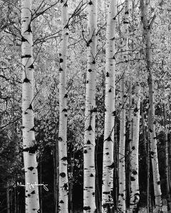 Aspens in Autumn II by Alan Majchrowicz