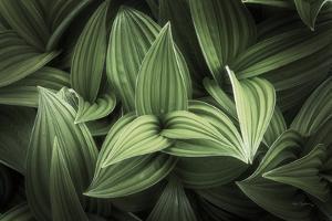 Corn Lily I by Alan Majchrowicz