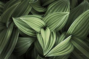 Corn Lily II by Alan Majchrowicz