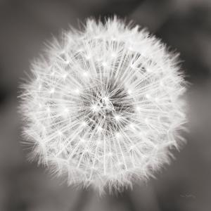 Dandelion Seedhead by Alan Majchrowicz