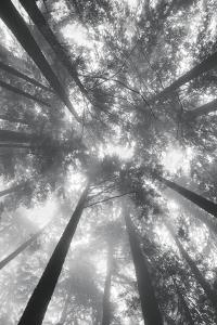Fir Trees I by Alan Majchrowicz