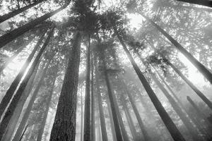 Fir Trees III by Alan Majchrowicz