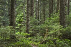 Old growth forest of Silver Fir and Western Hemlock. Chilliwack Valley, North Cascades NP by Alan Majchrowicz