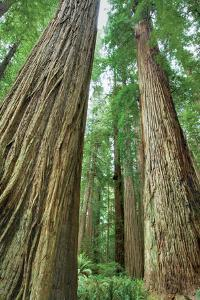 Redwoods Forest II by Alan Majchrowicz