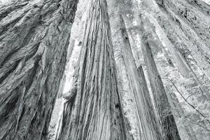 Redwoods Forest IV by Alan Majchrowicz