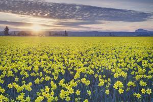 Skagit Valley Daffodils by Alan Majchrowicz