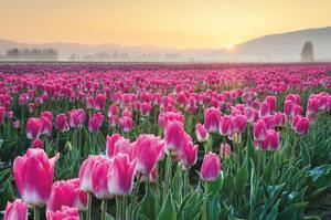 Skagit Valley Tulips I by Alan Majchrowicz