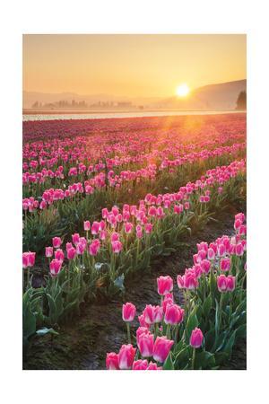 Skagit Valley Tulips II