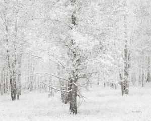 Snow Covered Cottonwood Trees by Alan Majchrowicz